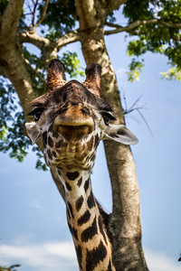 Giraffe Looks Down