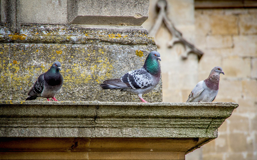 Pigeons in Bath